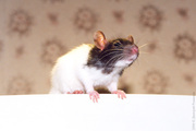 купить крысу   2 месяца