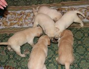 Продам очаровательных щенков