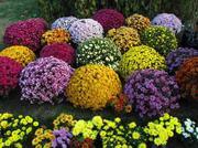 Хризантема ''Мультифлора'' для сада оптом